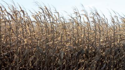 Mature corn