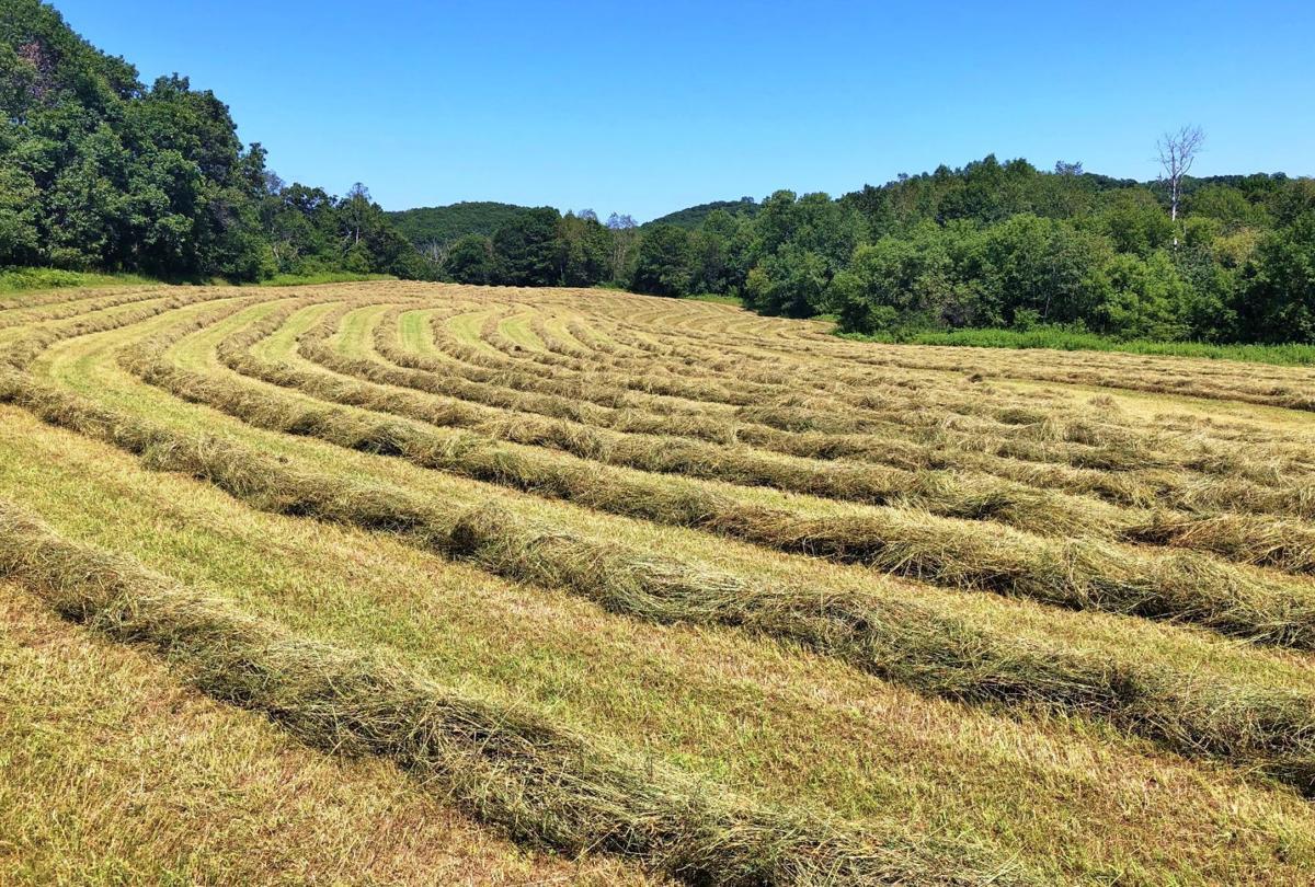 Hay drying in sun