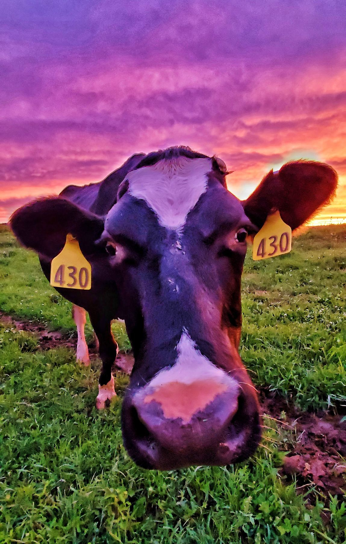 Cow inspects camera in field in front of setting sun