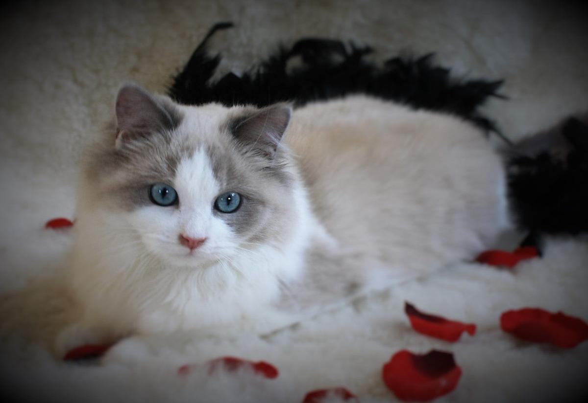 Ragdoll Cats Purr Fect Vocation Livestock Agupdate