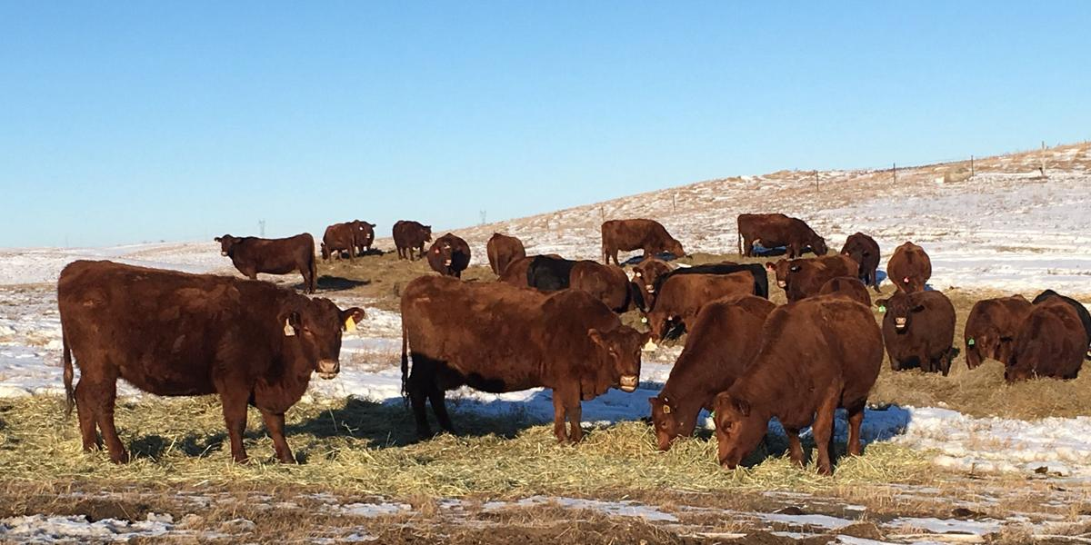 Red Angus cows