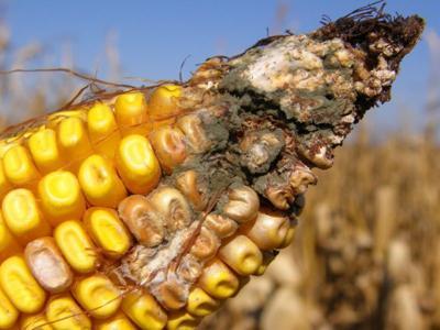 Corn tip