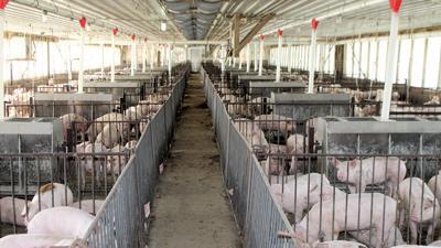ventilation in hog building