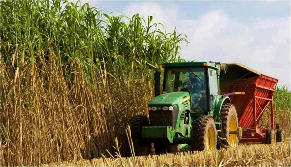 Sorghum harvested to be used for bioenergy