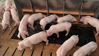 Holding time may reduce disease risk in swine feed