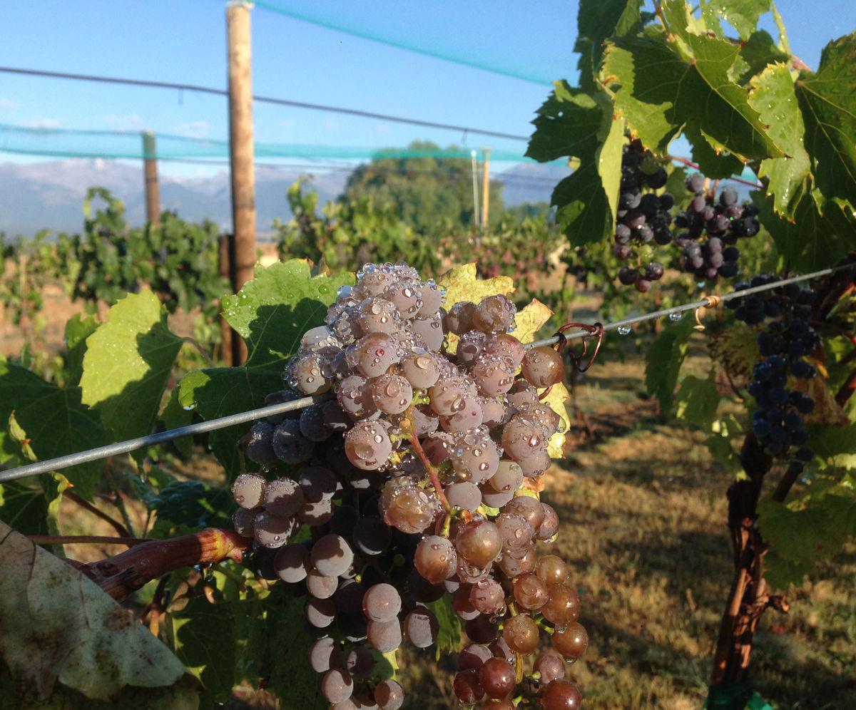 Montana Grapes