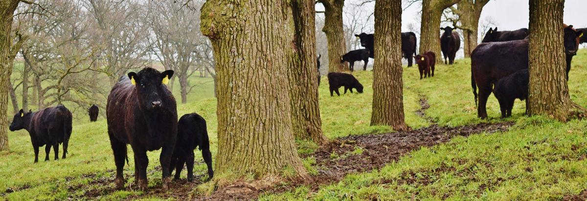 Cow-calf in grove of trees