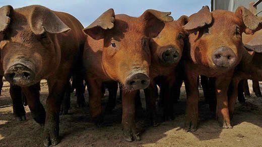 Pigs on feedlot