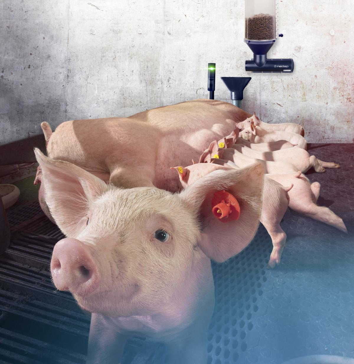 Pigs in camera