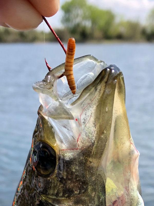 mealworm fish