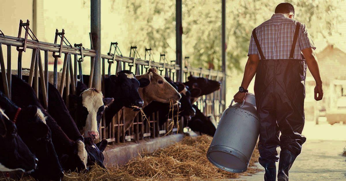 Farmer in dairy barn, depressed