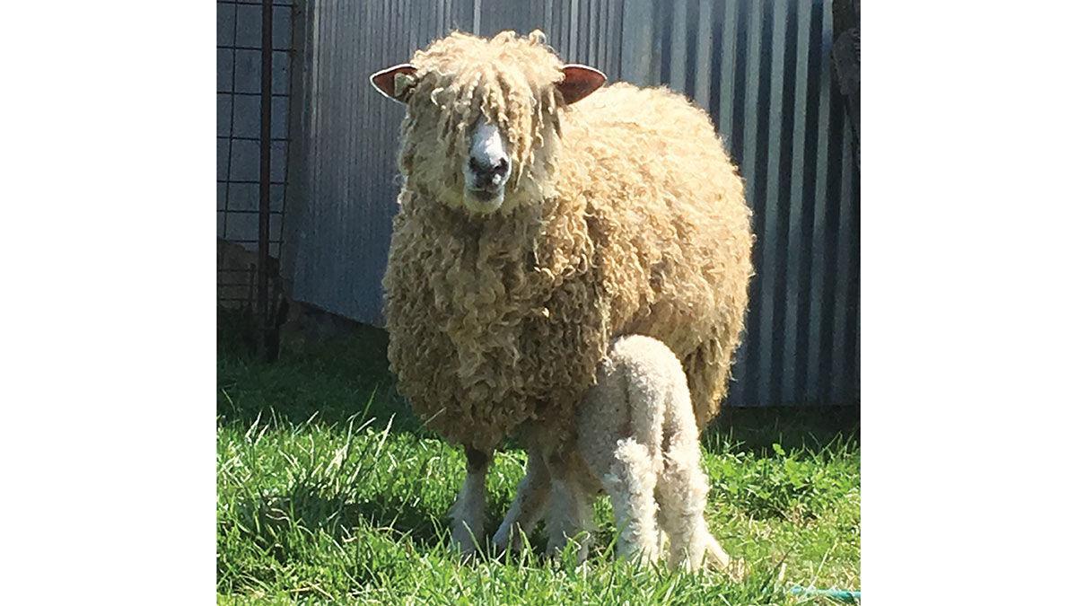 A Lincoln ewe nurses her lamb