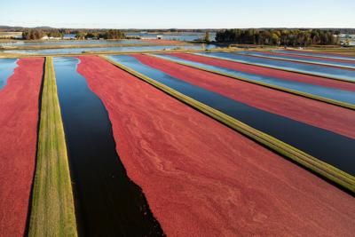 Cranberry beds in Wisconsin