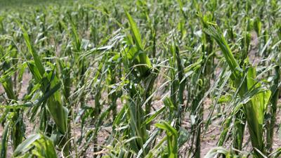 Corn with wind and hail damage