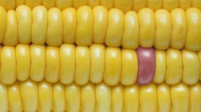 sweet corn cross-pollination