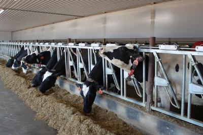 Cows in robotic barn