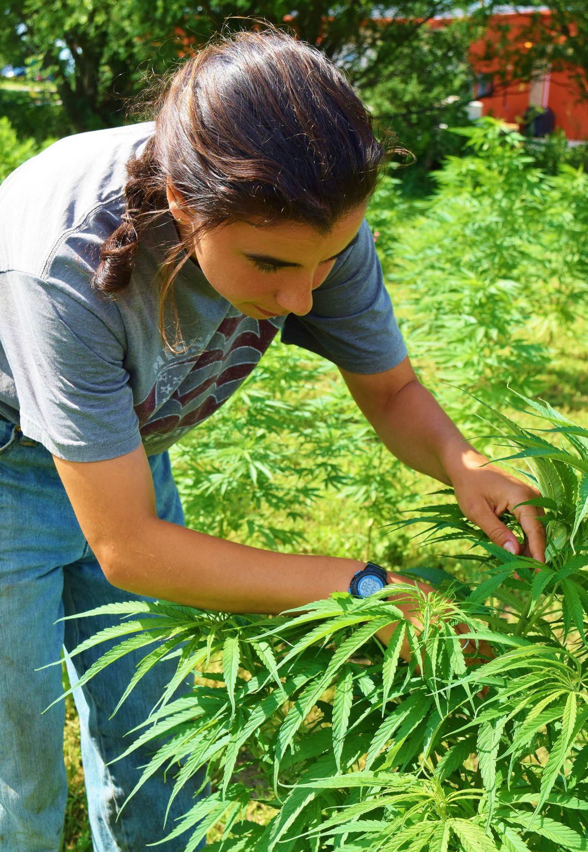 Leah Sandler studies hemp plant from clone