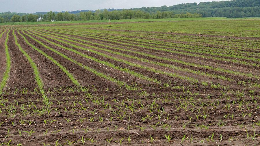 Emerging corn rows