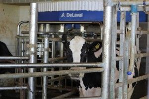 Cow in DeLaval robotic system