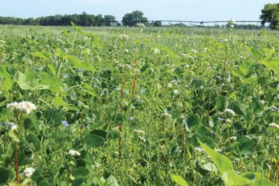 Buckwheat soybeans