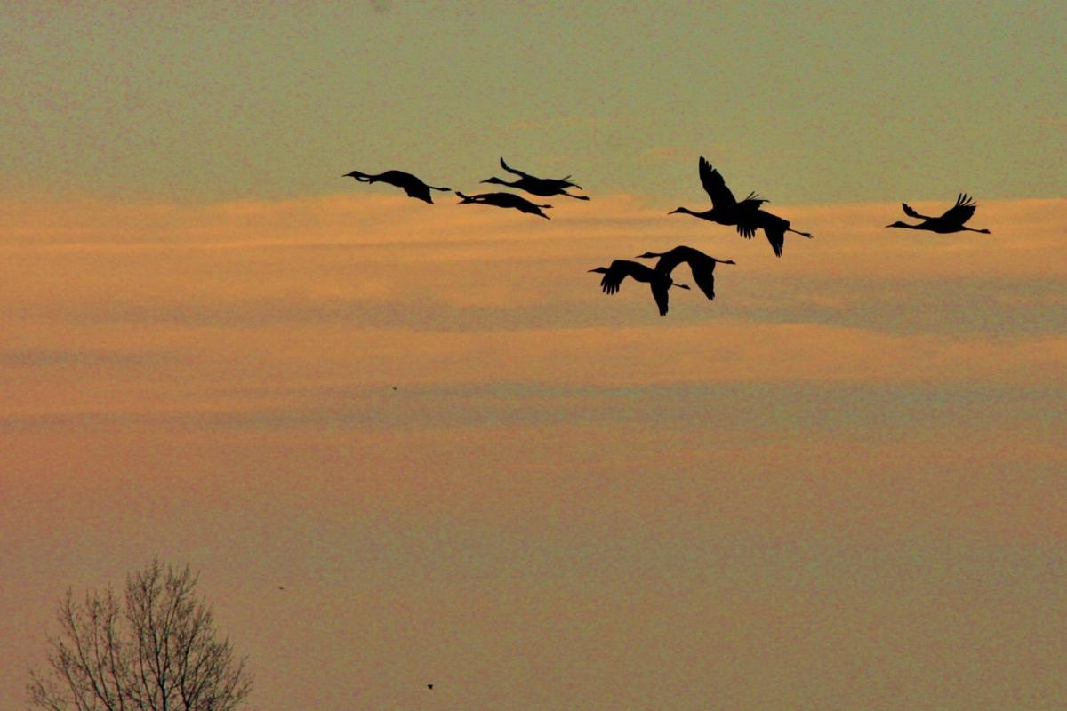 Flock of cranes heads south