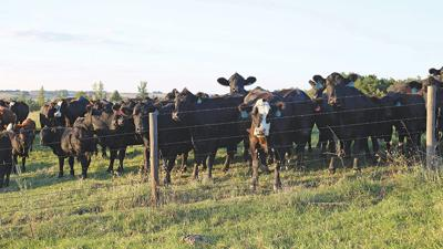 genetics in beef cow herds