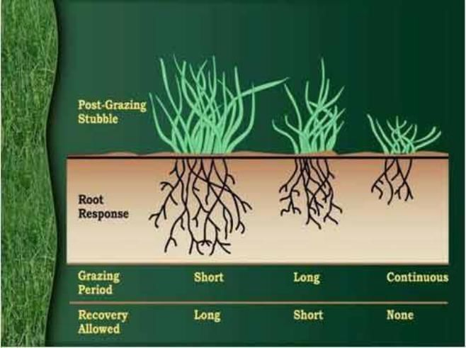Grass needs recovery time