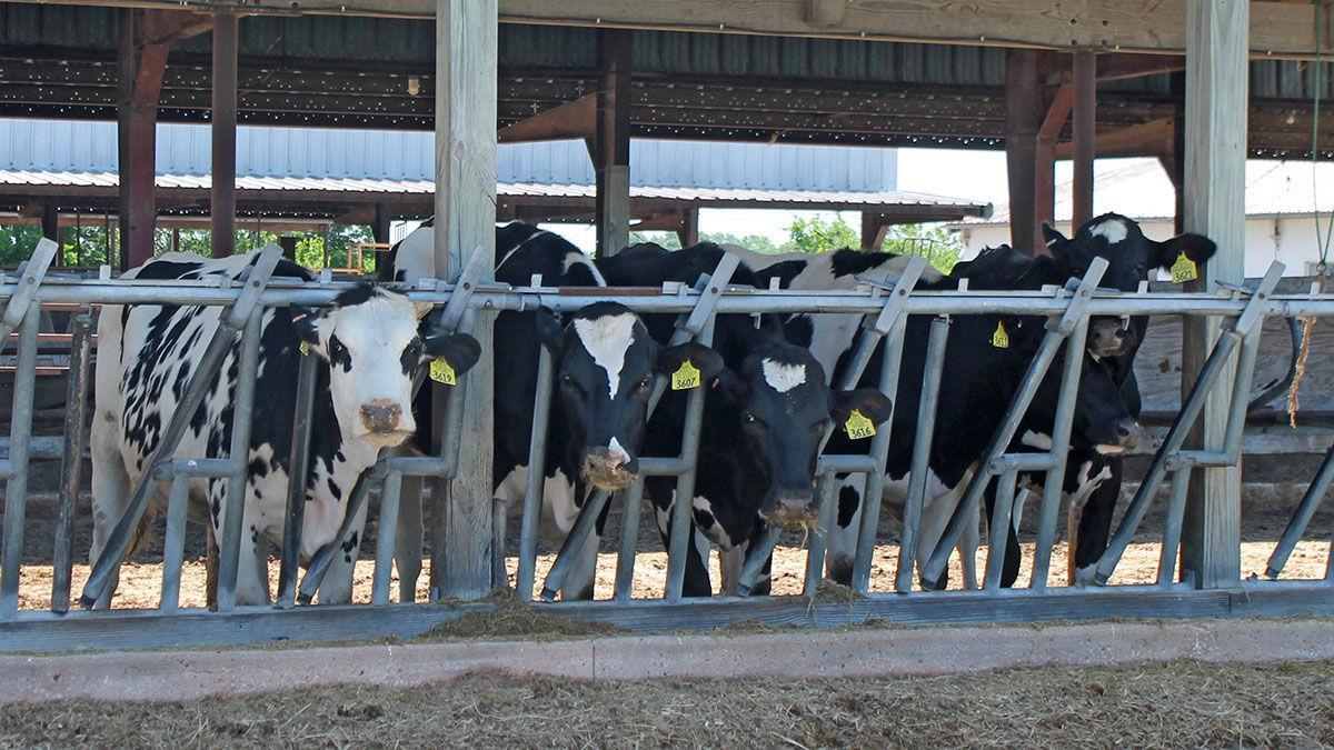 Missouri Dairy cattle