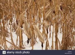 corn and snow