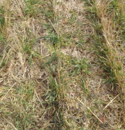 Rye management
