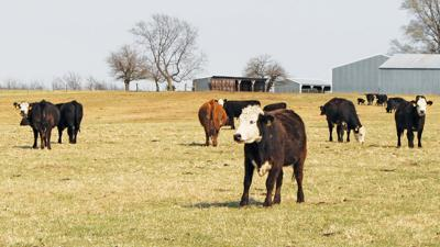 Early spring cattle