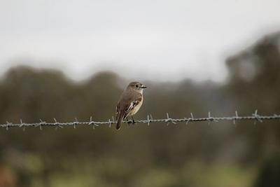 bird barbed wire fence