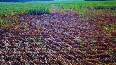 Downed corn in field