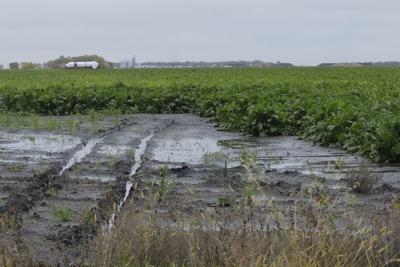 Beets sit in field