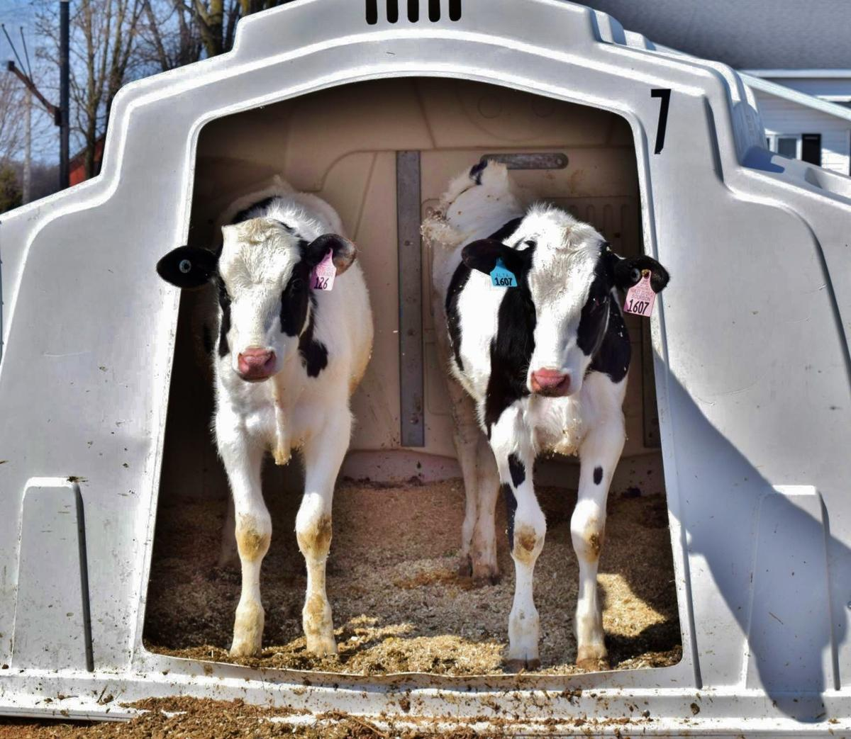 Calves stand in super double hutch