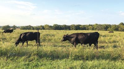 Cattle graze in a Daviess County, Mo., pasture