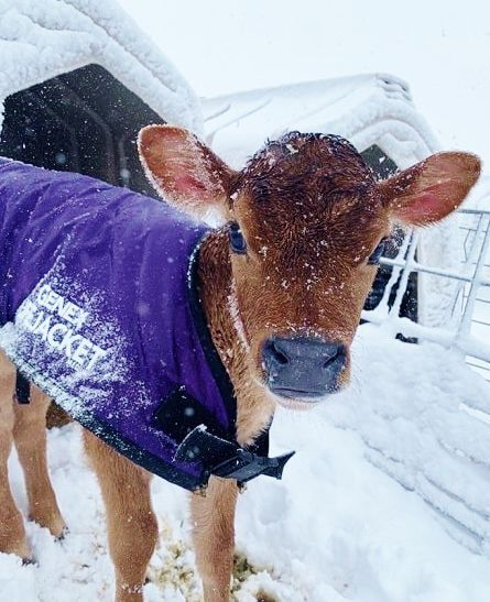 Jersey calf in snow