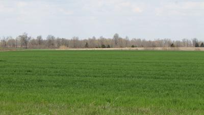 Intercropping wheat