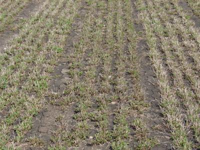 alfalfa in early spring