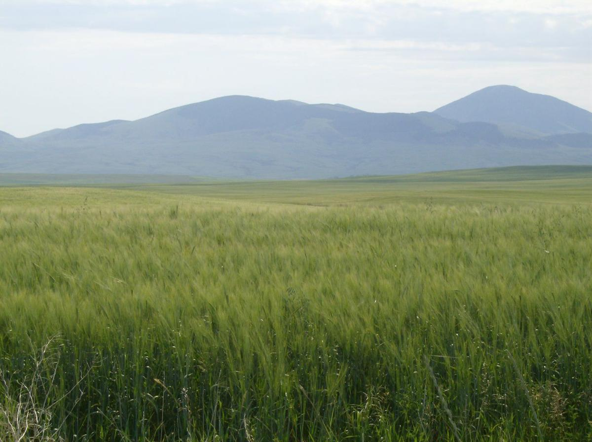 Barley growing in Northern Montana. (copy)