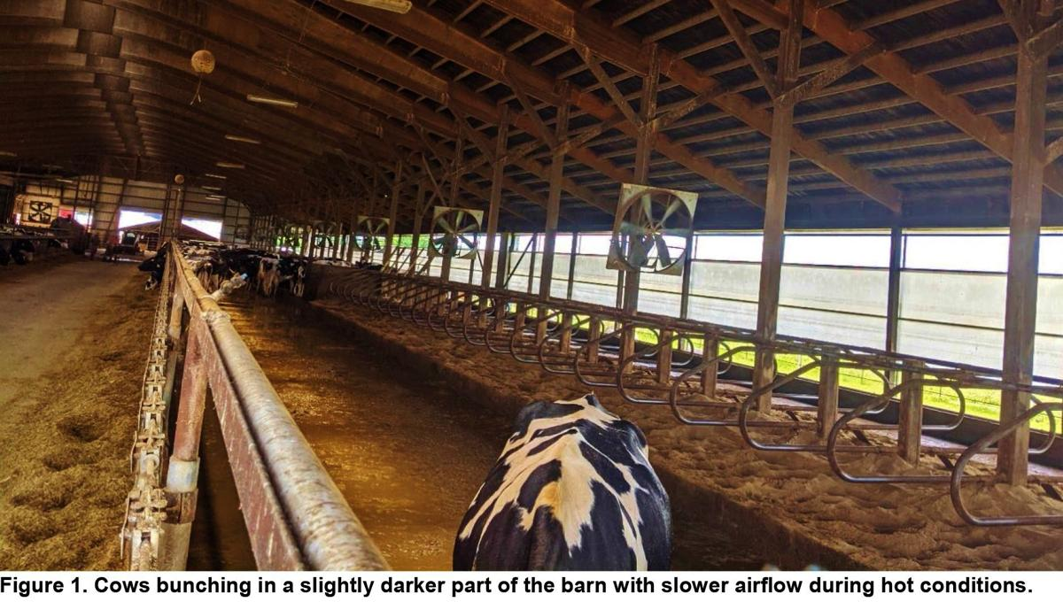Cows bunch in a slightly darker part of a barn with slower airflow during hot conditions