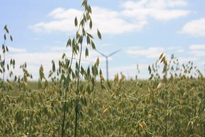 Standing oats with windmill behind