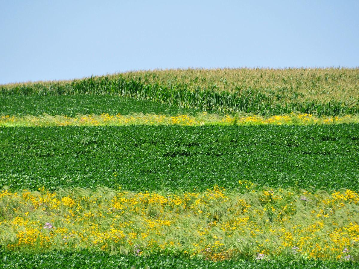 Prairie Strips on Tim Smith farm, Eagle Grove, IA