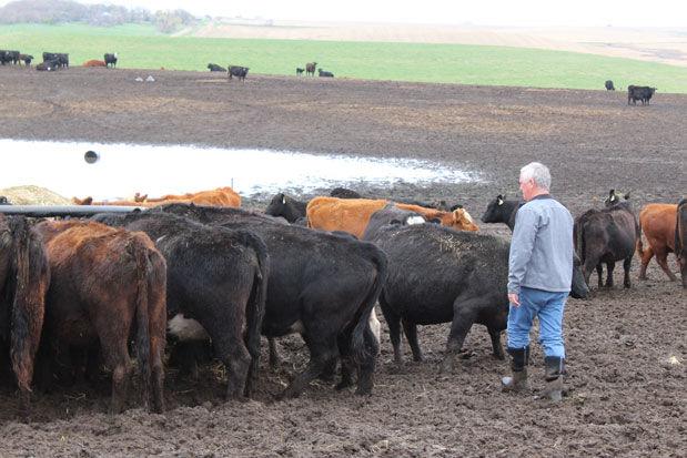 Martey Stewart cattle