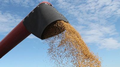 Soybeans from auger at harvest