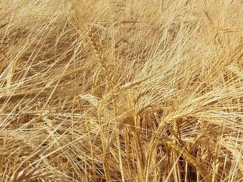 Barley in the fields