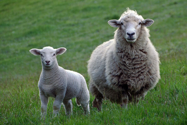 Sheep and goat survey