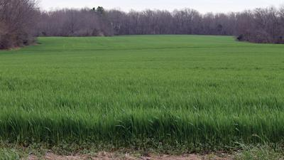 Wheat grows in a field in Franklin County, Ill