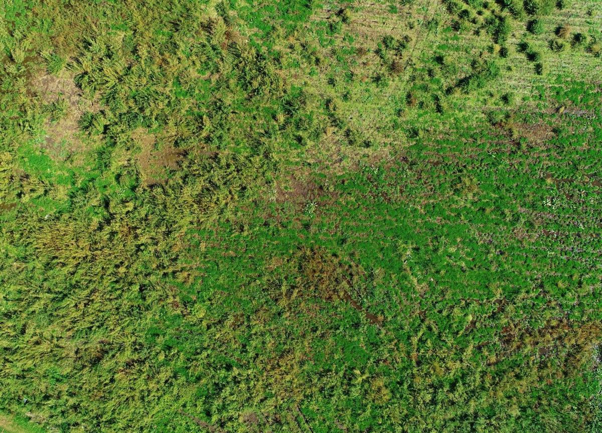 Aerial image of Palmer amaranth