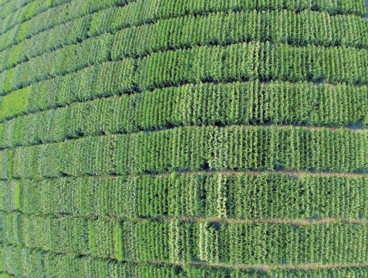 Corn field plot